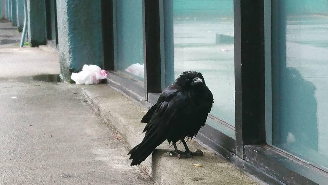 black-bird-shine